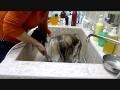 Демонстрация использования масла для мытья и жидкого воска для шерсти AromaFauna на взрослой собаке.