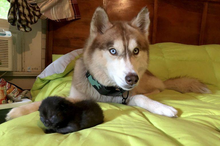 Хаски спасла семерых котят, брошенных в лесу в коробке
