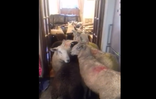 В Англии щенок загнал девять овец на кухню в доме хозяина