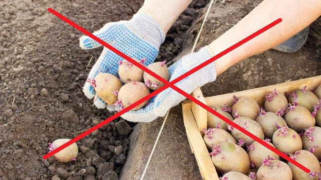 Россиянам запретили сажать картошку