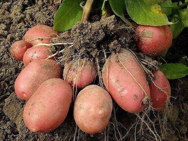 Ваш огород,Посадили один клубень,а получили 2 ведра картошки!