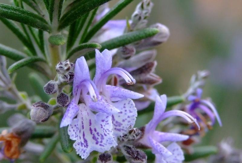 8 лекарственных растений, которые отгонят комаров от вашего участка
