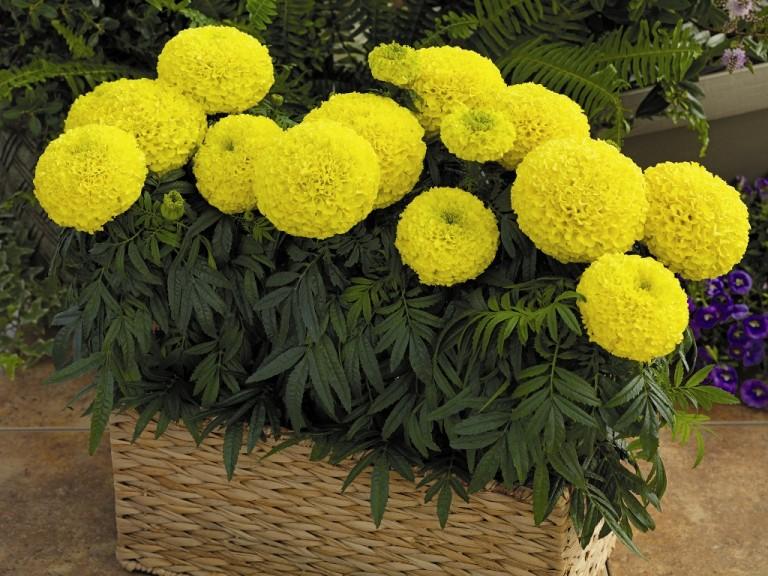 Самые неприхотливые цветы дл…