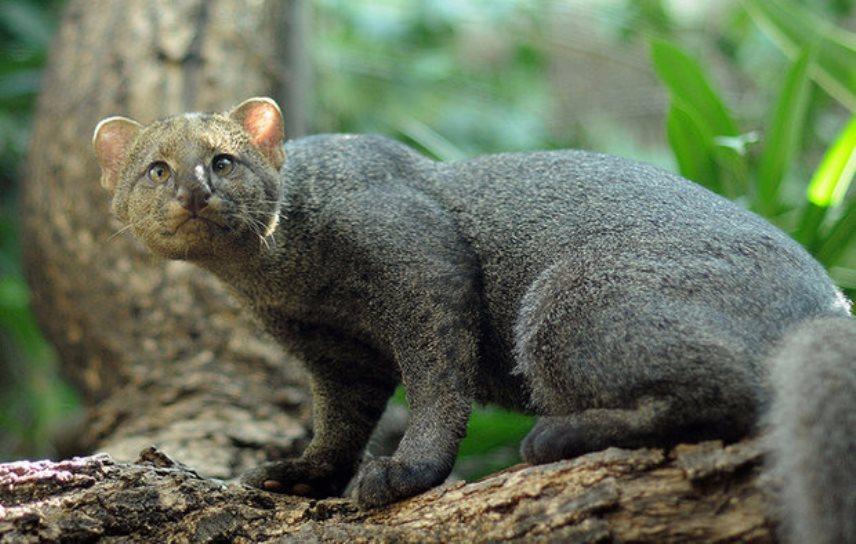 Ягуарунди — кошка, которая у…