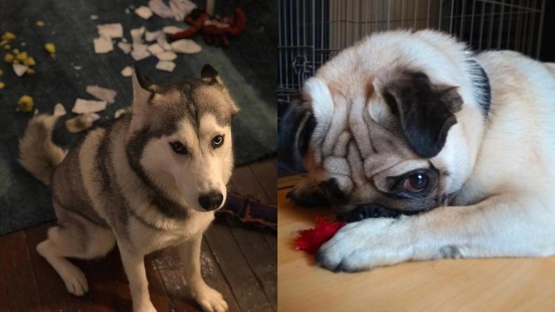 «Хозяин, прости!»: пользователи инстаграма публикуют забавные снимки провинившихся собак