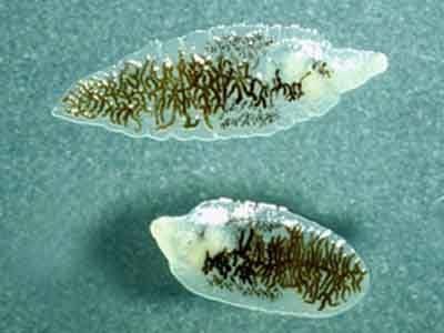 10 самых изобретательных (и мерзких) паразитов в мире