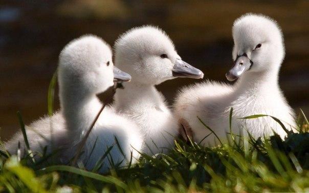Лебедята