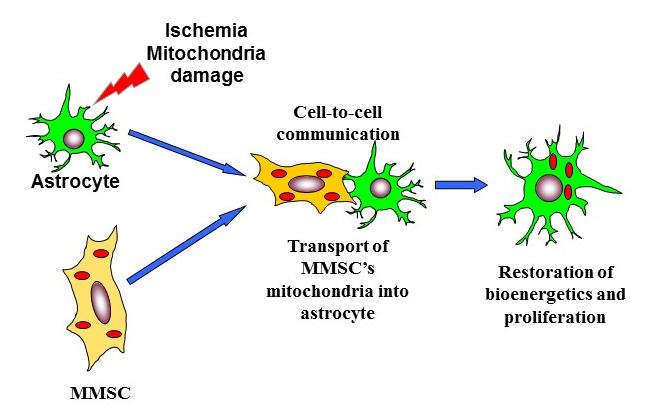 Как стволовые клетки лечат инсульт?