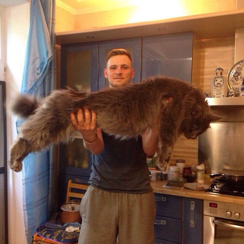 Мейн-куны, в сравнении с которыми ваш котик будет смотреться крошечным