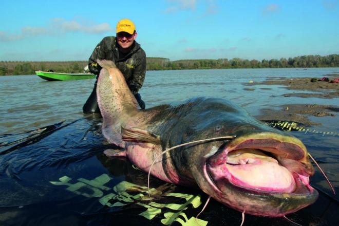 Сомы-гиганты: странные рыбы из радиоактивного чернобыльского пруда