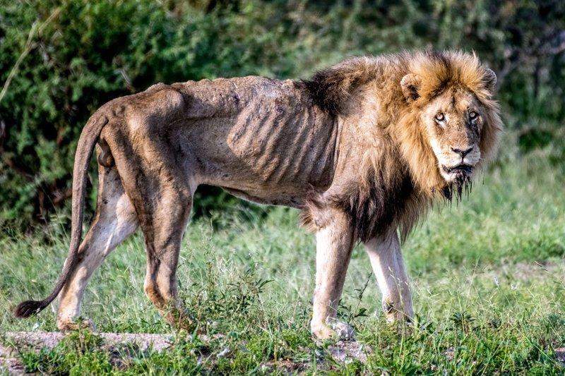 Душераздирающие фотографии последних часов жизни льва, изгнанного из прайда