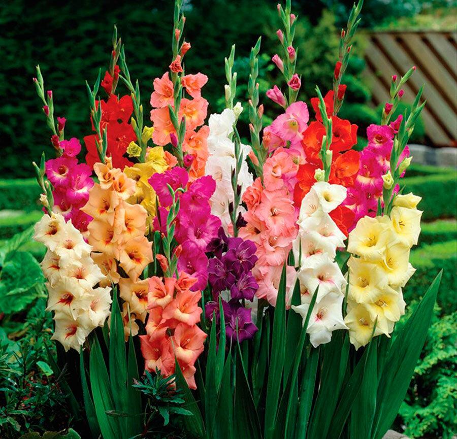 Чем надо подкармливать гладиолус после цветения, чтобы на следующий год была красота 🌷