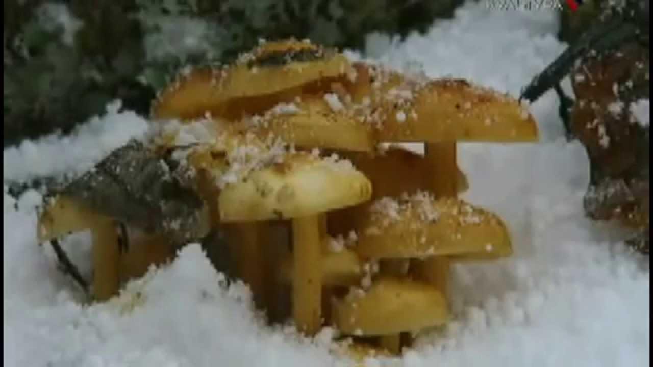 Опенок в зимнее время года: как приготовить и где найти