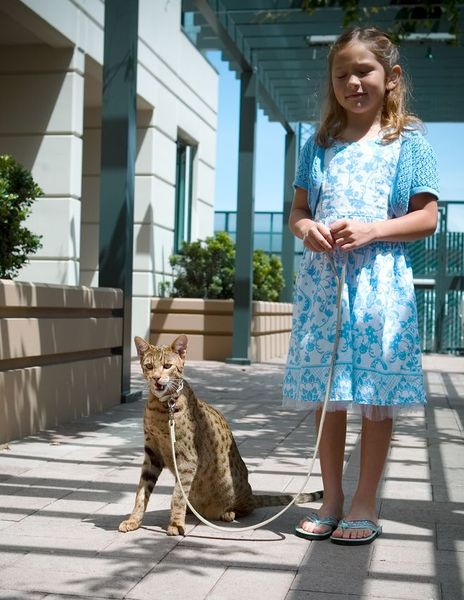1295526224_51349 Ашера - уникальная кошка-леопард