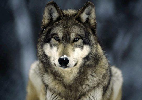 Стая волков и 3 охотника