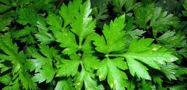 Петрушка: преимущества и польза листьев петрушки