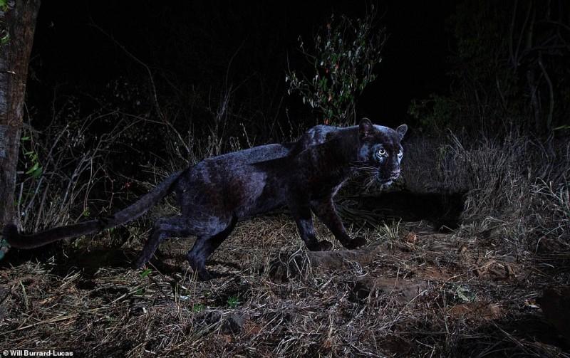 В Африке впервые за 100 лет засняли ультра-редкого черного леопарда