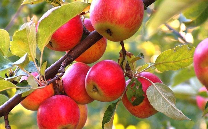 Чем подкормить яблони и груш…