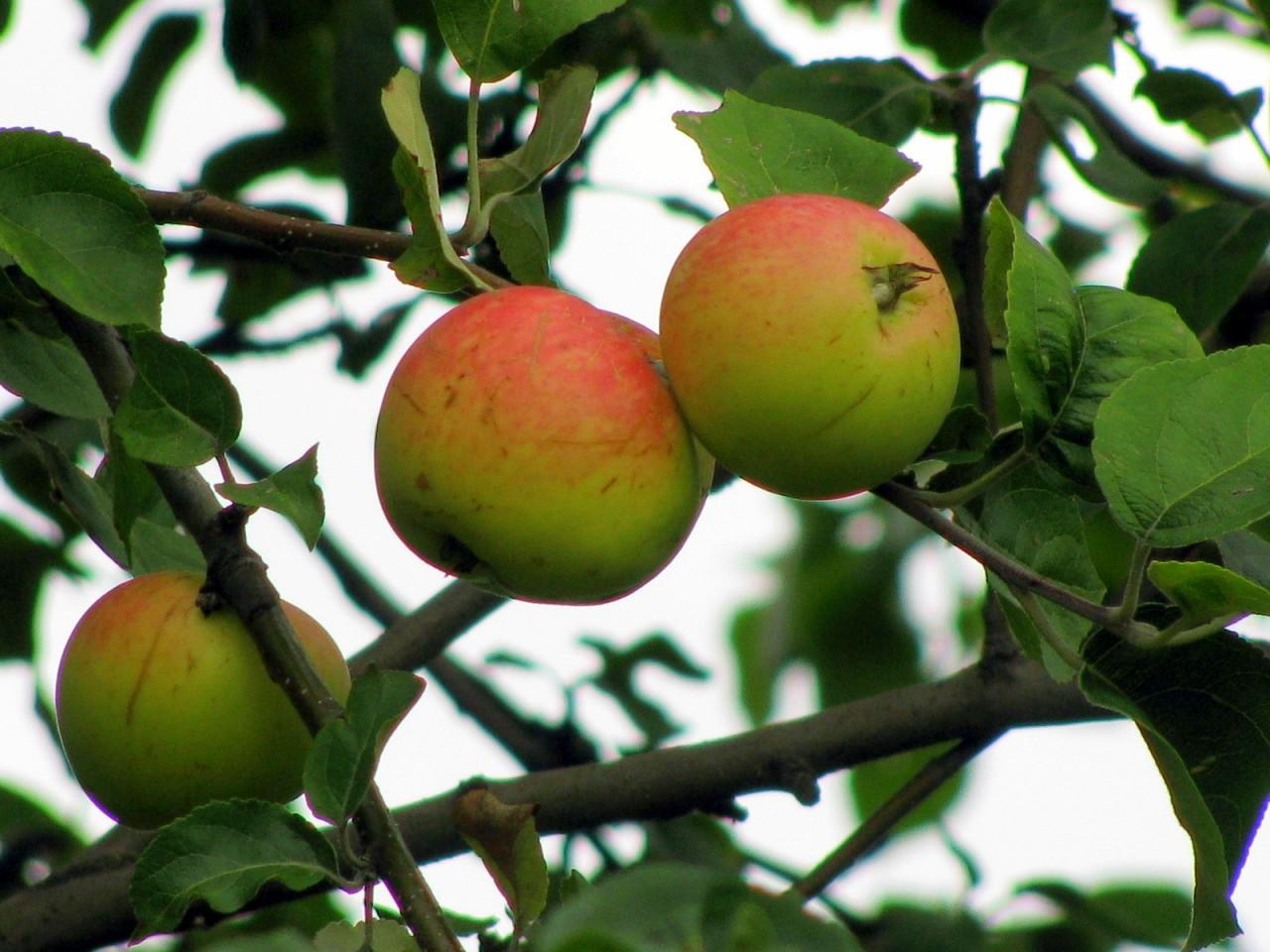 Все в сад! Яблоневый!)
