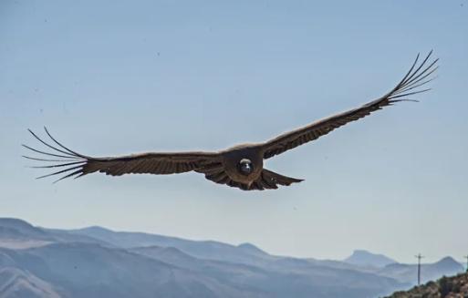 Андский кондор - самая крупная птица в мире