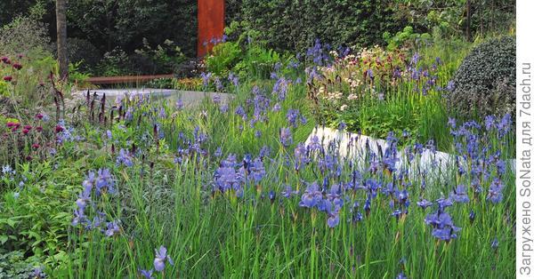 Цветки сибирских ирисов менее крупные по сравнению с цветками традиционных садовых ирисов, зато их больше на кусте