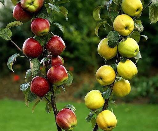 Яблоня вместо яблони (плодосмен)