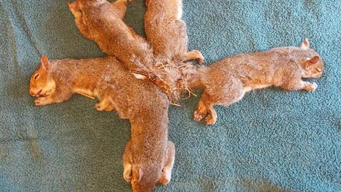 Ветеринары помогли пятерым бельчатам, сцепившимся хвостами