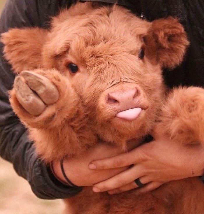 Наверное самые милые коровы )