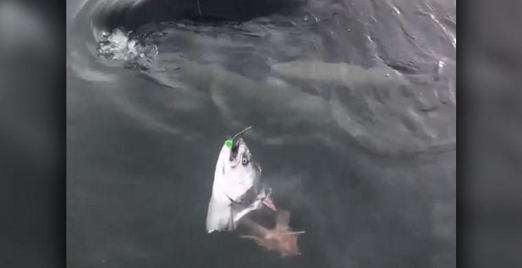 Косатка стащила лосося с крючка рыбака