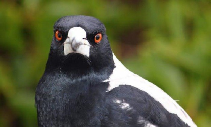 В Австралии открыт сезон охоты сорок на людей