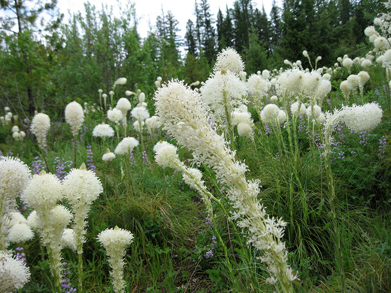 Ксерофиллум прочный или медвежья трава