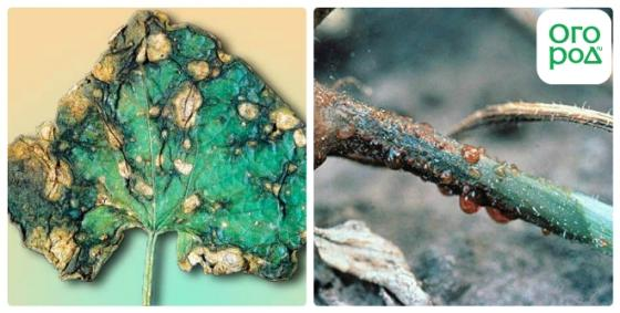 Основные болезни огурцов и методы борьбы с ними
