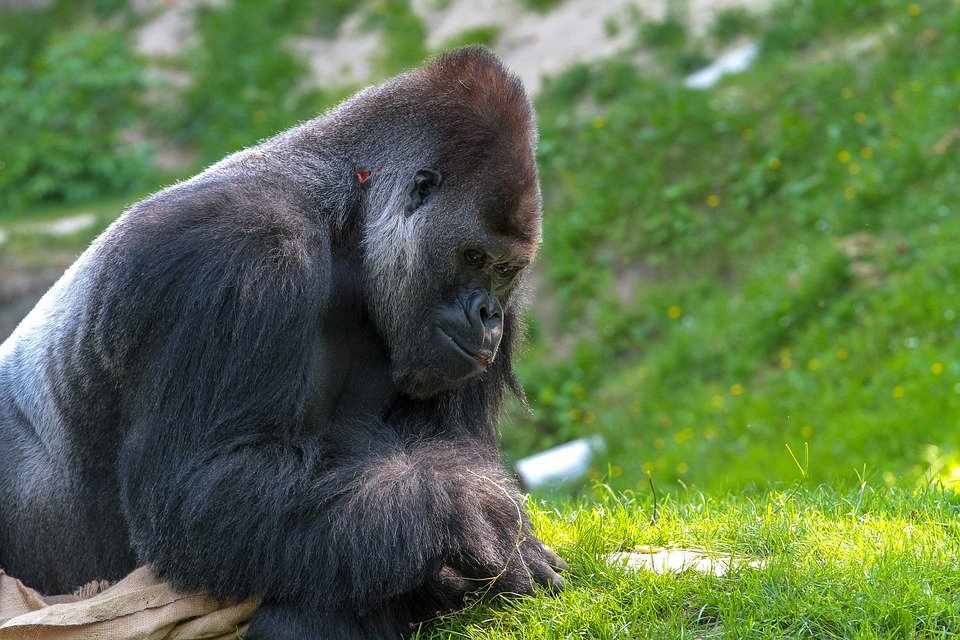 Самцы горилл нашли секрет популярности у самок