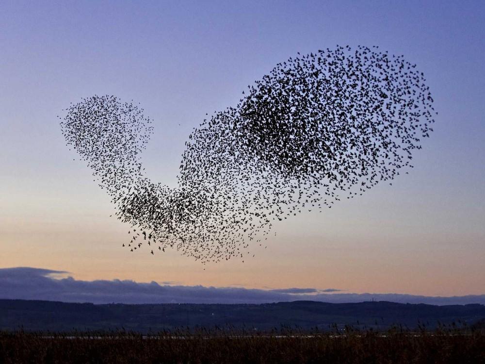 Загадка мурмурации птиц