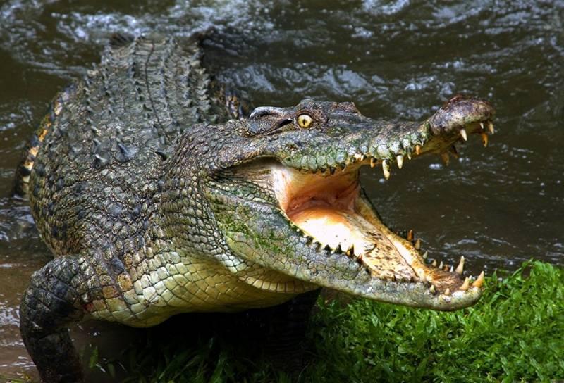 В Австралии рыбаки едва не стали уловом крокодила