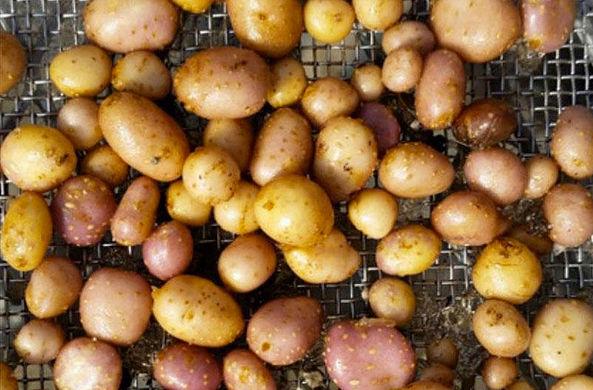 В США нашли «картофельное пюре» возрастом 10 900 лет