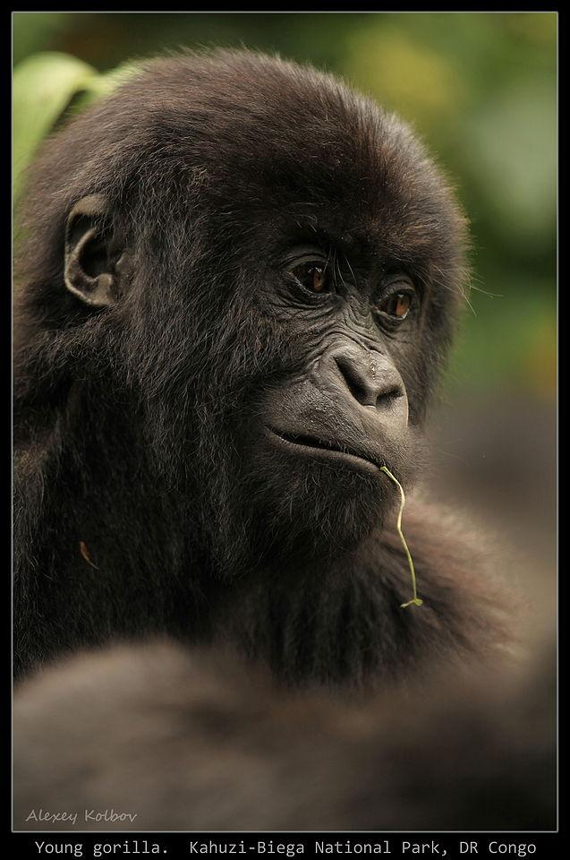 Большая африканская  авантюра: наши люди  в гостях у горилл