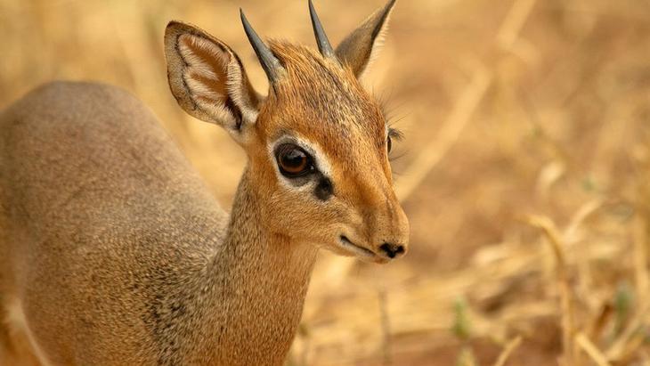 Дикдик — самая маленькая антилопа на свете
