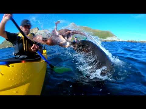 Тюлень угостил спортсмена осьминогом