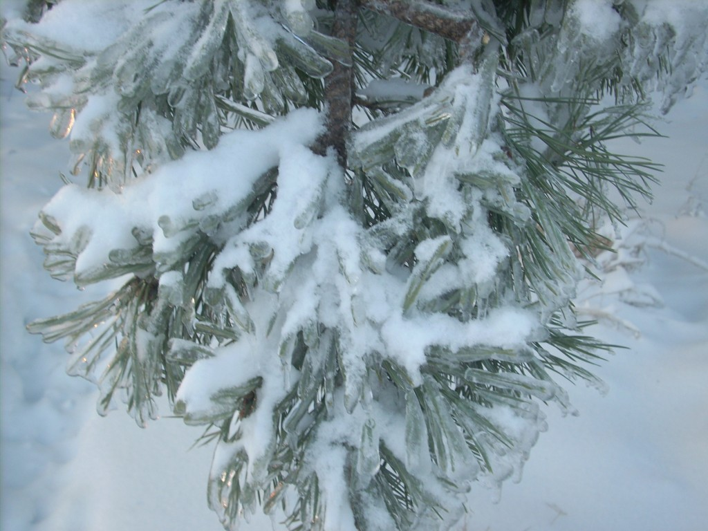 Лапа сосны после ледяного дождя