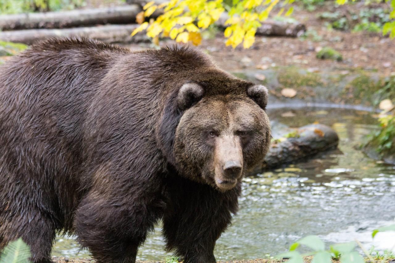 Медведь случайно спас кемеровчан, которыми хотел пообедать