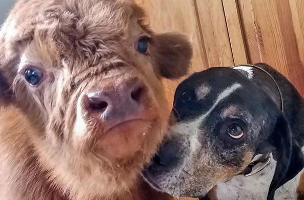 Фермеры вырастили теленка, который думает, что он собака