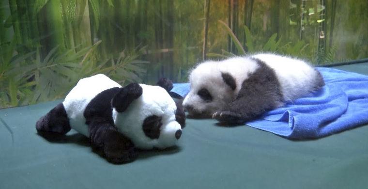 В китайском зоопарке показали, как учат панду ползать