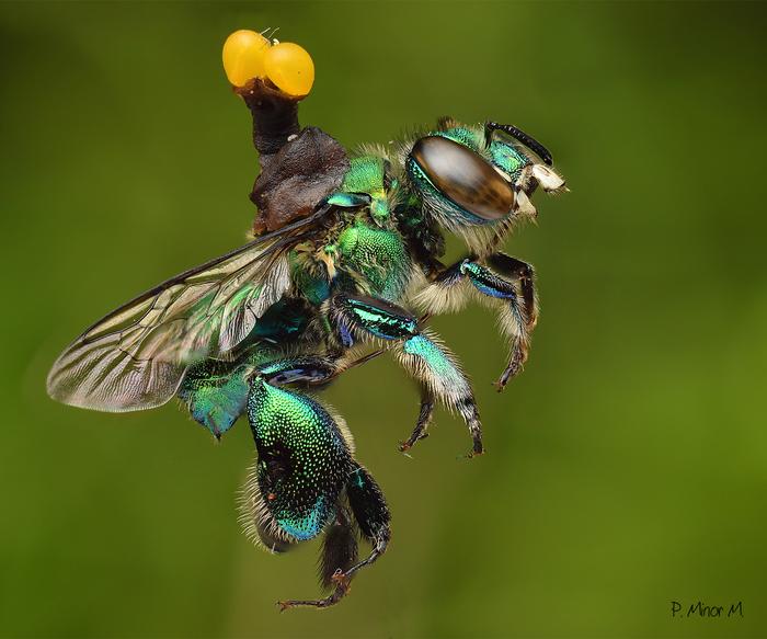 Пчелы-парфюмеры Пчелы, Эволюция, Наука, Биология, Копипаста, Elementyru, Длиннопост, Видео