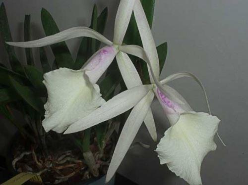 Белая каттлея - просто шикарная орхидея