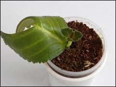 Глоксиния: размножение листовыми черенками.