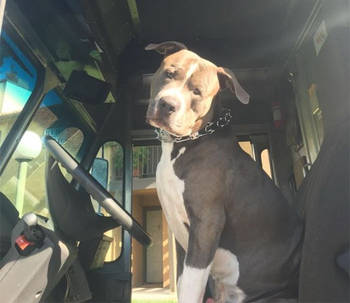 This UPS Driver Just Adopted A Pit Bull On Her Work Route After The Death Of His Owner
