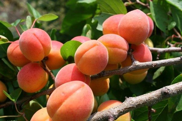 Для здоровья – съешь абрикос! (польза абрикоса и его свойства)