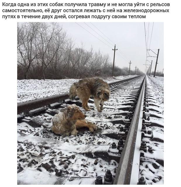 Пес не бросил свою раненую подругу на железных путях и двое суток лежал рядом с ней, рискуя жизнью
