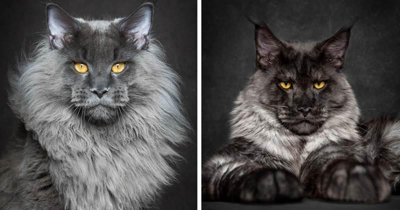 Мэйкуны - фантастические коты. Словно лев в миниатюре!